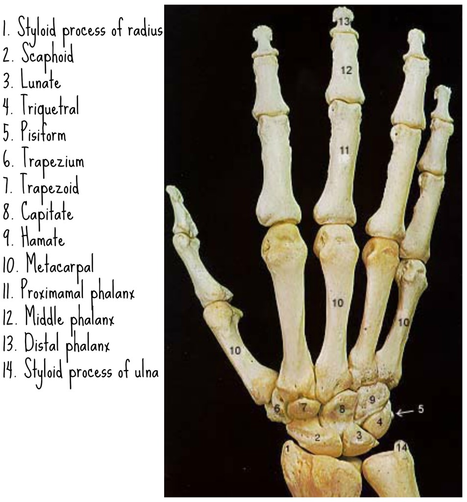 Hand Bones Skeleton Related Keywords And Tags